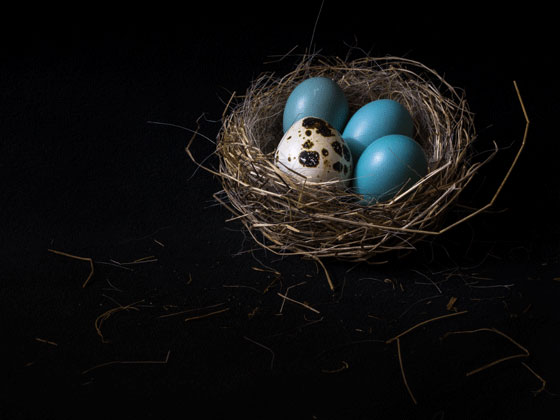 Photo of three robins eggs and one quail egg in a nest by Ryl和 West